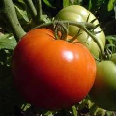 Seminte Tomate Benfica 20 g