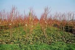 Puieţi de pomi fructiferi