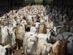 Lapte capra