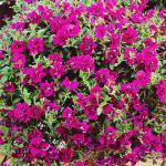 Surfinia Double Purple