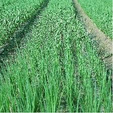 Seminţe de ceapa verde