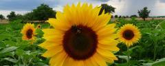 Ulei brut de floarea soarelui