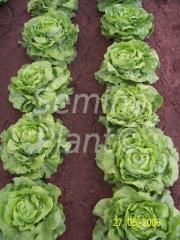 Seeds of lettuce