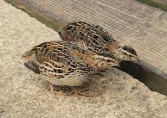 Youngsters quail
