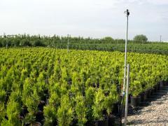 Cuttings of coniferous plants