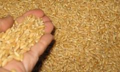 Thức ăn lúa mì