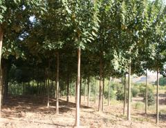 Copaci soi Paulownia