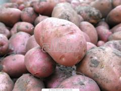 Mid-season potato