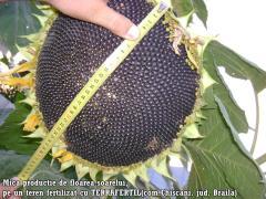 Floarea Soarelui Terrafertil
