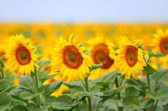 Floarea soarelui ecologica