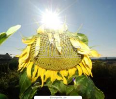 The kernel of sunflower oil varieties