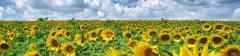 Culturi de floarea soarelui