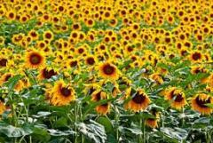Ulei de floarea soarelui pentru producerea de