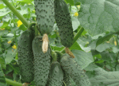 Greenhouse cucumbers