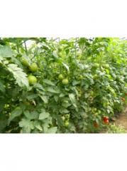 Rasaduri tomate