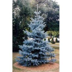 Pine, spruce