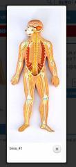 Modelos de hombre anatómicos
