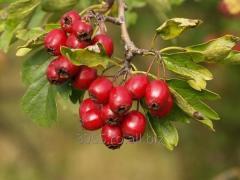 Crataegus monogyna( fructus crataegus dried or fresh)