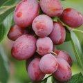 Fructe proaspete