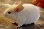 Chinchilla - animal de companie