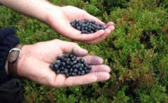 Asigurare piata de desfacere pentru afine